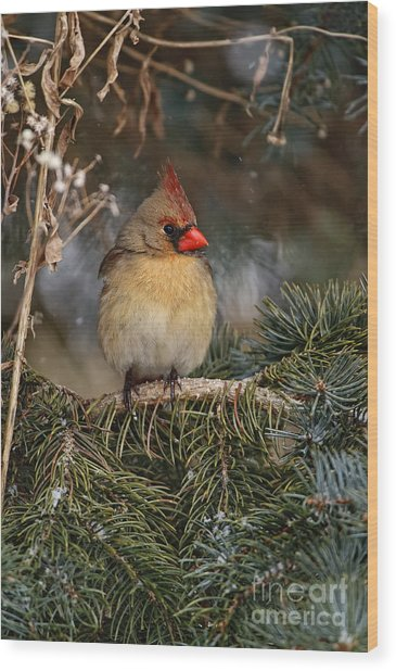 Female Norther Cardinal Wood Print