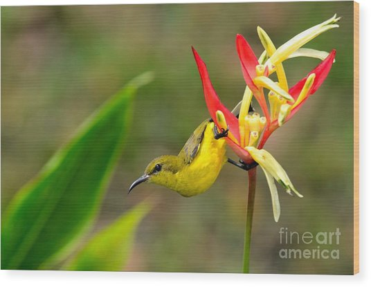 Female Olive Backed Sunbird Clings To Heliconia Plant Flower Singapore Wood Print