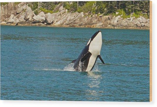 Female Orca Cheval Island Alaska Wood Print