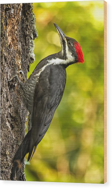 Female Pileated Woodpecker No. 2 Wood Print