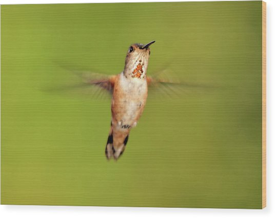 Female Rufous Hummingbird In Flight Wood Print