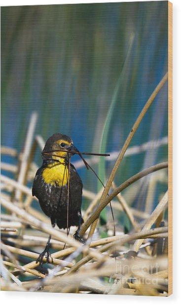 Blackbird Builds A Nest Wood Print