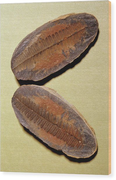 Fern Fossil (pecopteris Sp.) Wood Print by M P Land/science Photo Library