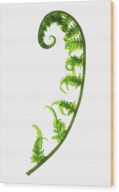 Fern Frond Wood Print by Gustoimages/science Photo Library