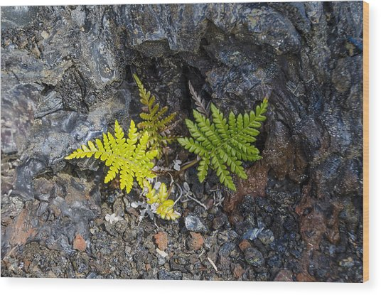 Ferns In Volcanic Rock Wood Print