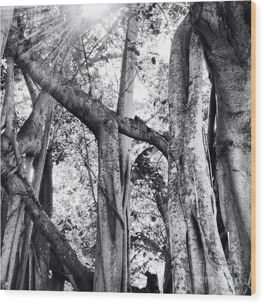 Ficus Altissima In Black And White Wood Print