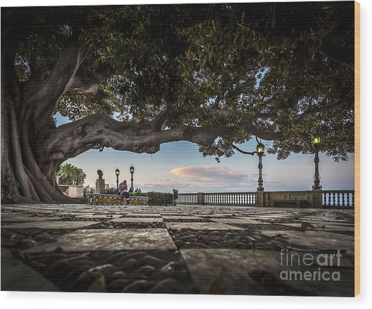 Ficus Magnonioide In The Alameda De Apodaca Cadiz Spain Wood Print