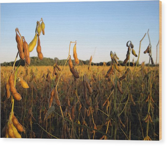 Field Of Beans Wood Print by Christopher Purcell