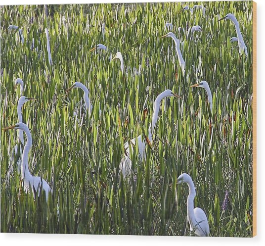 Field Of Egrets Wood Print