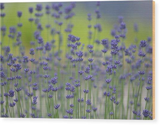 Field Of Lavender Flowers Wood Print