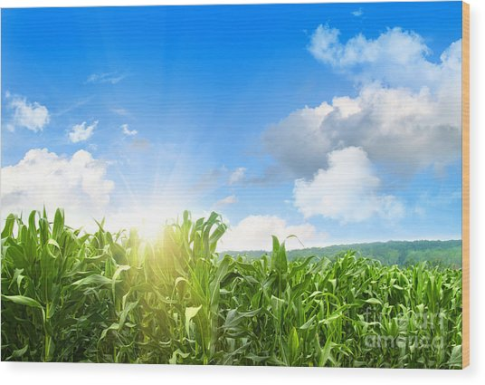 Field Of Young Corn Growing Against Blue Sky Wood Print