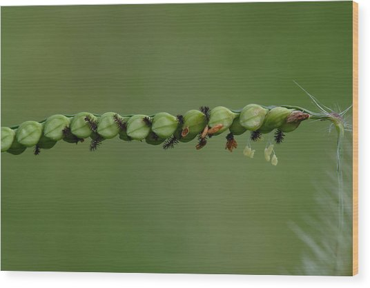 Wood Print featuring the photograph Field Paspalum Grass In Bloom by Daniel Reed