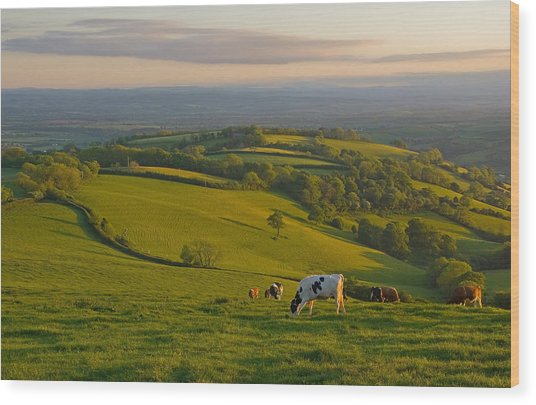 Fields And Cows In Devon Wood Print