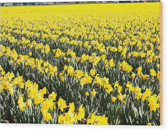 Fields Of Daffodils  Wood Print