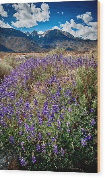 Fields Of Lupine Wood Print