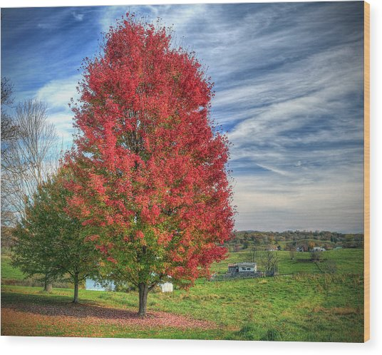 Fiery Red Maple Wood Print
