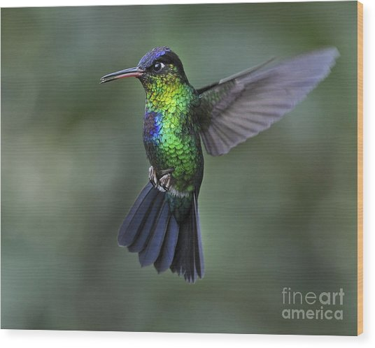 Fiery-throated Hummingbird..  Wood Print
