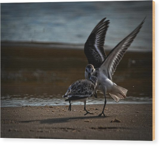 Fighting Sandpipers Wood Print