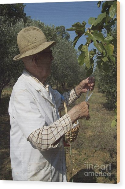 Fig's Harvest In Loppiano Wood Print