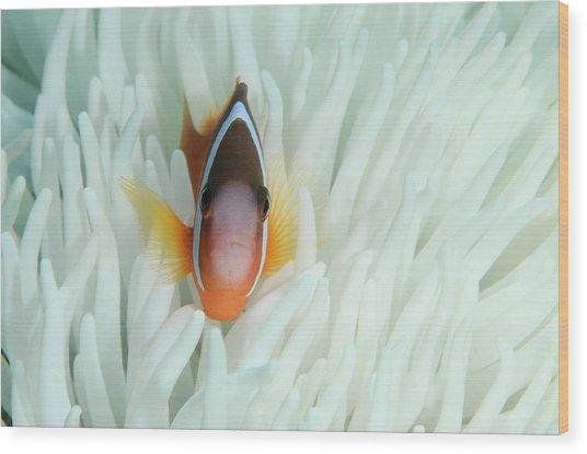 Fiji Anemone Fish (amphiprion Barberi Wood Print