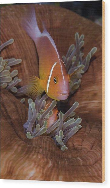 Fiji Clownfish Hiding Among Sea Wood Print