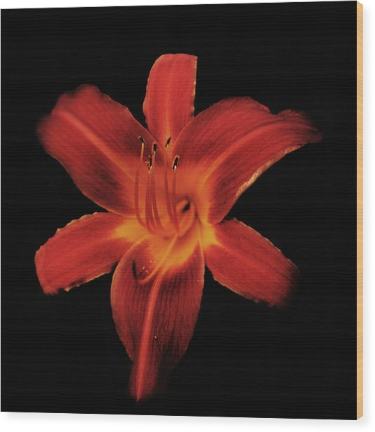 Fire Lily Wood Print