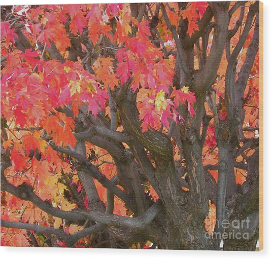 Fire Maple Wood Print by Laura Yamada