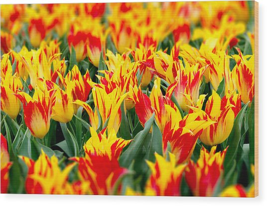 Fire Tulips Wood Print