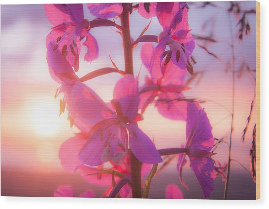 Fireweed At Sunset Wood Print