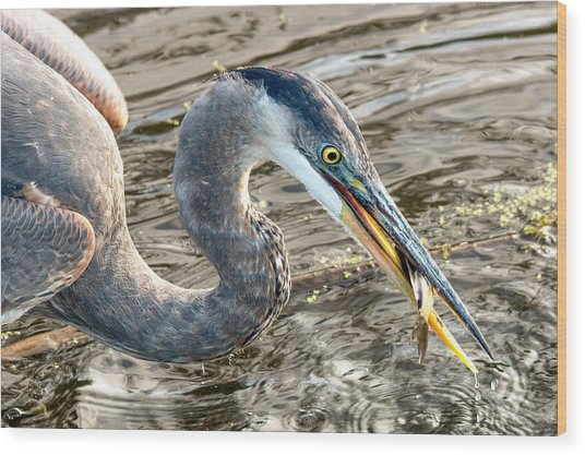 First Catch Of The Day - Blue Heron Wood Print by Doug Underwood
