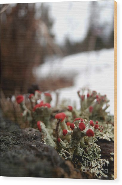 First Lichen Blossom Of The Year Wood Print by Steven Valkenberg