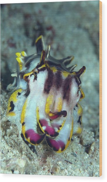 Flamboyant Cuttlefish Wood Print by Scubazoo/science Photo Library