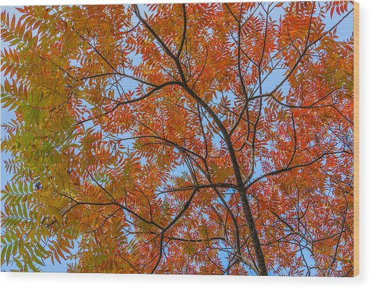 Flameleaf Sumac Mostly Changed From Green To Red Wood Print