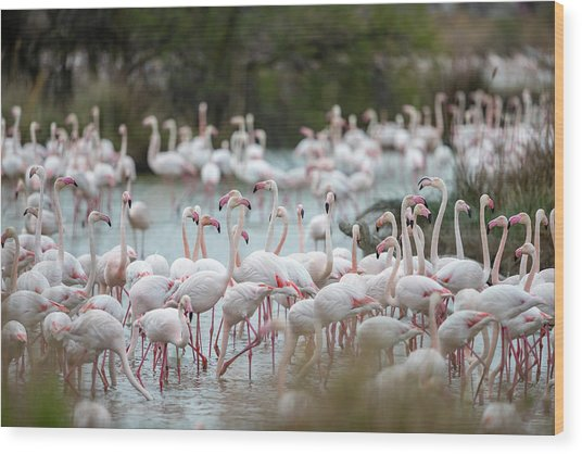 Flamingoes In Swamp Wood Print by Raffi Maghdessian