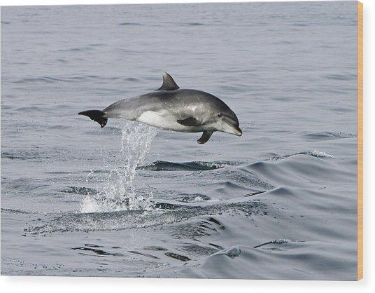 Flight Of The Dolphin Wood Print