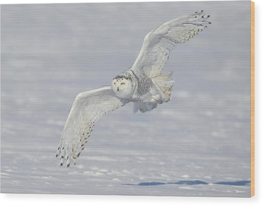 Flight Of The Snowy Wood Print
