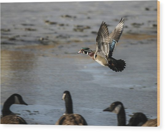 Flight Of The Wood Duck Wood Print