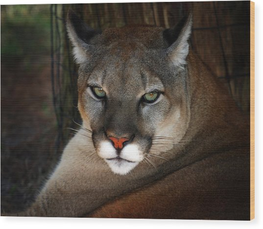 Florida Panther Wood Print