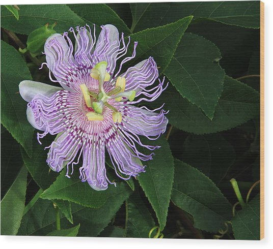 Florida Passion Flower Wood Print