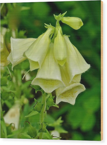 Canterbury Bells 113 Wood Print by Patsy Pratt