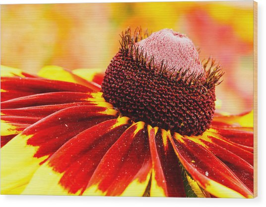 Black Eyed Susan Hybrid Wood Print