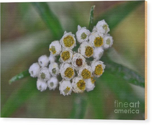 Wood Print featuring the photograph Flower Buttons by Mae Wertz