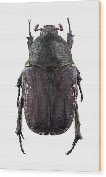 Flower Chafer Wood Print by F. Martinez Clavel