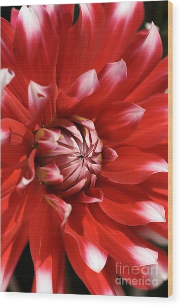Flower- Dahlia-red-white Wood Print