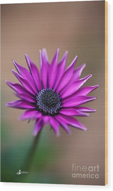 Flower-daisy-purple Wood Print