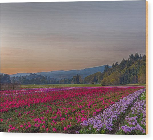 Flower Field At Sunset In A Standard Ratio Wood Print