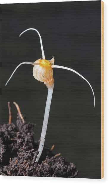 Flower Of An Amazonian Root Parasite Wood Print