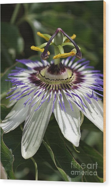 flower-Passionfruit Wood Print