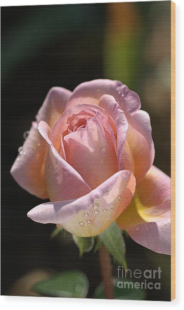 Flower-pink And Yellow Rose-bud Wood Print