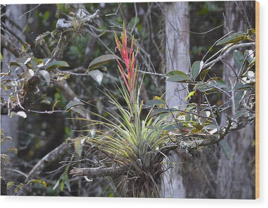 Flowering Everglades Air Plant Epiphyte Bromeliad Wood Print